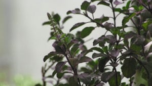 Herb of the Week: Holy Basil