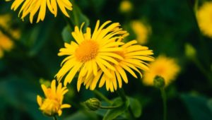 Herb of the Week: Arnica