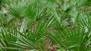 More Benefits from Saw Palmetto