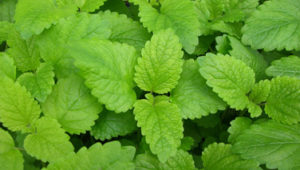 The Amazing Benefits of Lemon Balm