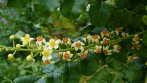 Weight-Loss Helper: Boswellia