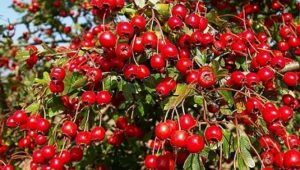 3 Health Benefits from Hawthorn