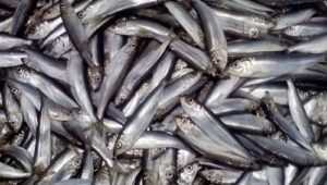 3 Great Fish Sources of Omega 3