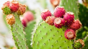 Cactus Health Benefits: Should You Drink Cactus Water?
